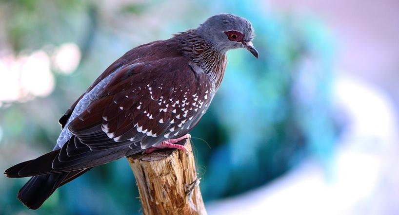 pigeons connectés